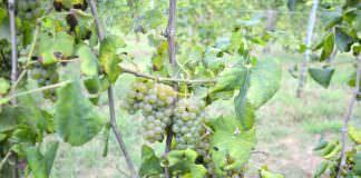 vitigno asprinio d'Aversa
