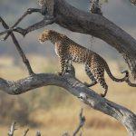 Botwana leopardo - foto di Marco Valentini