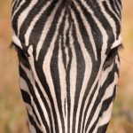Botwana -zebra- foto di Marco Valentini