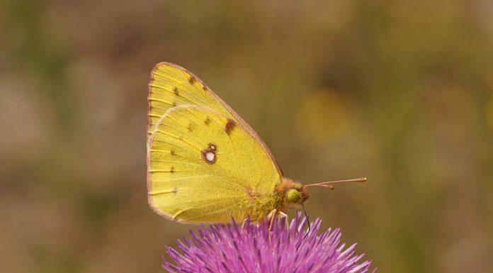 la farfalla dorata| ilmondoodisuk.com