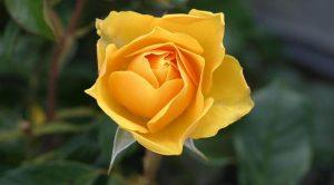 rosa-gialla